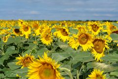 Sunfowers Royalty Free Stock Photography