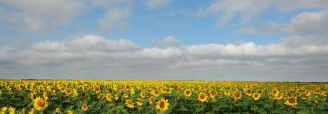 sunfowers royaltyfria bilder