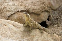 Free Sungazer (Cordylus Giganteus) Royalty Free Stock Images - 28054079