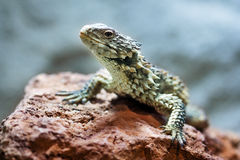 Sungazer, Giant girdled lizard (Smaug giganteus) Royalty Free Stock Image