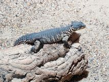 Sungazer lizard Royalty Free Stock Photography