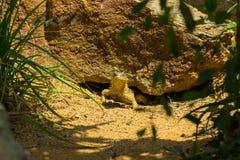 Sungazer Peeking Out From Under A Rock Stock Photos