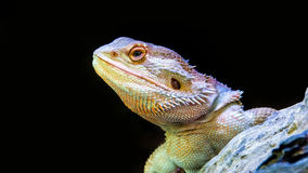 sungazer reptile and wood on black isolate Royalty Free Stock Photography
