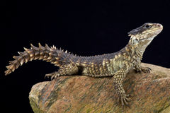 Sungazer (Smaug giganteus) Stock Photos