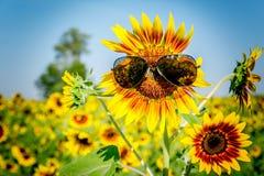 Sunglass στον ηλίανθο στοκ φωτογραφίες