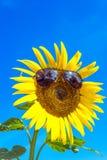 Sunglass på solrosen, i moring av dagen Royaltyfri Bild