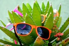 Sunglasscactussen Stock Foto