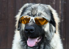 Sunglasses dog Royalty Free Stock Photos