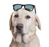 Sunglasses Dog Glasses Fun. A Labrador dog wearing Sunglasses on his head isolated on white Stock Photos