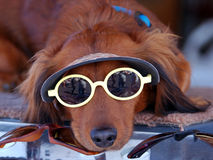 Sunglasses Puppy Dog Royalty Free Stock Image