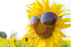 Sunglasses sunflowers Royalty Free Stock Image
