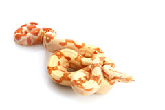 Sunglow Columbian Red-tailed Boa Royalty Free Stock Photography