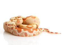 Sunglow Columbian Red-tailed Boa Royalty Free Stock Images