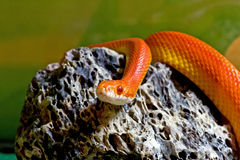 Sunglow Corn Snake On Rock Royalty Free Stock Photography