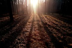Sunglow forest. stock image
