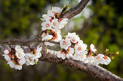 Sungold Apricot Blossoms against Green Royalty Free Stock Photos