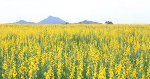 Sunhemp field with mountains. Yellow flowers background royalty free stock photo