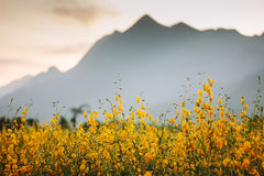 Sunhemp flowe with mountain. Royalty Free Stock Image