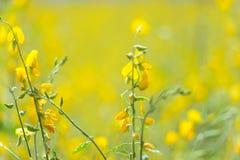Sunhemp flowers field Stock Photos
