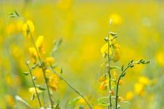 Sunhemp flowers field Stock Photo