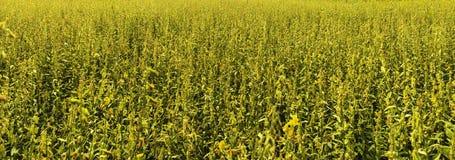 sunhemp of sunn hennep de dagtijd van het bloemgebied royalty-vrije stock afbeelding