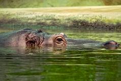 Sunk Hippo. Photo of a hippopotamus head comming out of the water Royalty Free Stock Photography