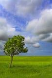 Sunk Island Solitary Whitebeam. Solitary Whitebeam tree in flat vast landscape royalty free stock image