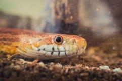 Sunkissed Kukurydzanego węża zakończenia up szczegół i oko ważymy Zdjęcie Stock
