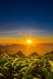 Sunkissed. Sunrise from world's highest organic tea garden Stock Image