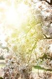 Sakura tree in blossom branch Stock Photography