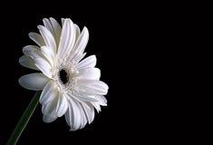 Sunlight. A white gerbera daisy on black Royalty Free Stock Photo