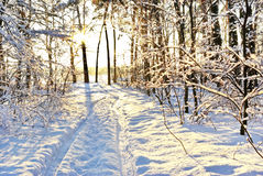 Sunlight Among The Branches Of Trees In Snowy Winter Forest. Royalty Free Stock Photos