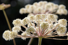 Sunlight on Angelica sylvestris flower Stock Image