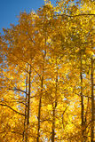 Sunlight through the aspens Royalty Free Stock Photos