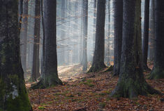 Sunlight in autumn forest Royalty Free Stock Images