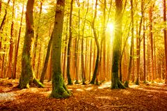 Sunlight in the autumn forest. Beautiful morning scene in the autumn forest with sun rays and long shadows royalty free stock photography