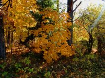 Sunlight in the autumn forest, illuminates the leaves royalty free stock image