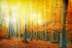 Sunlight in the autumn forest Stock Photography
