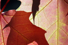 Sunlight Through Autumn Leaves Royalty Free Stock Photography