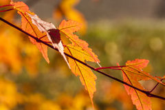 Sunlight on Autumn Leaves Stock Images