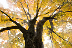 Sunlight and Autumn Tree Royalty Free Stock Image