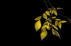 Sunlight on autumn yellow leaves Royalty Free Stock Photo