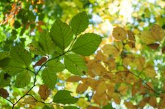 sunlight in autumnal beech leaves in the forest stock images