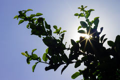 Sunlight Backlit Between Leaves Royalty Free Stock Photography