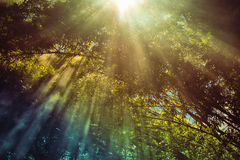 Sunlight Bamboo forest Royalty Free Stock Image