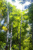 Sunlight in the bamboo forest Royalty Free Stock Photo