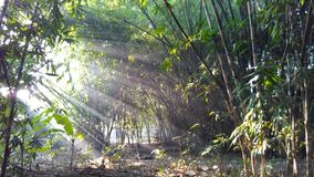 Sunlight through the bamboo tree Stock Images