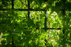 Sunlight beam through the green vines royalty free stock images