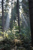 Sunlight Beams In Forest Stock Photo