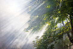 Sunlight beams in forest Stock Image